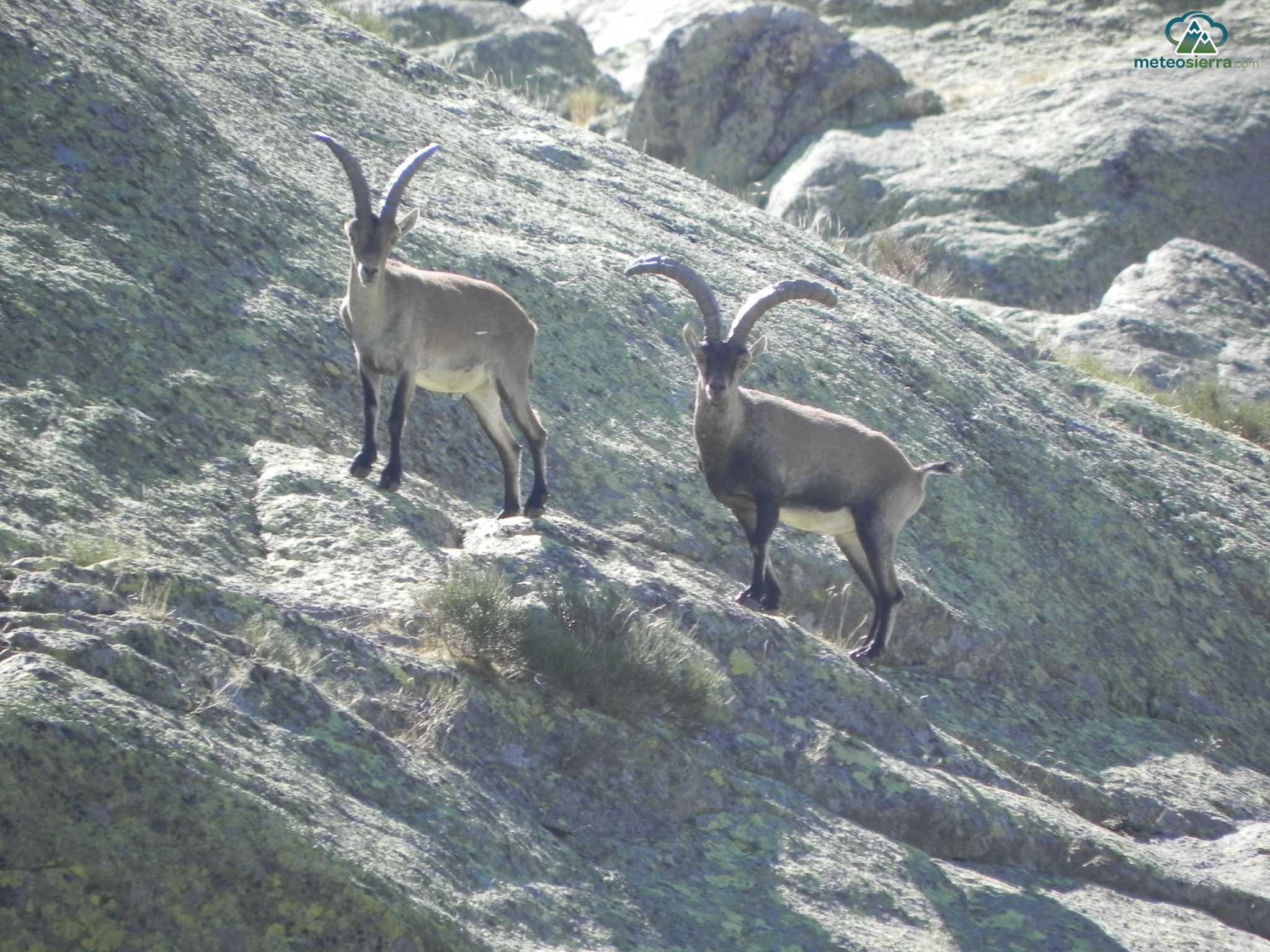 Machos de cabra montés